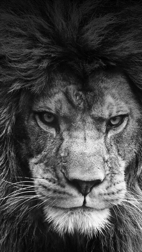 обои льва на айфон 6 016