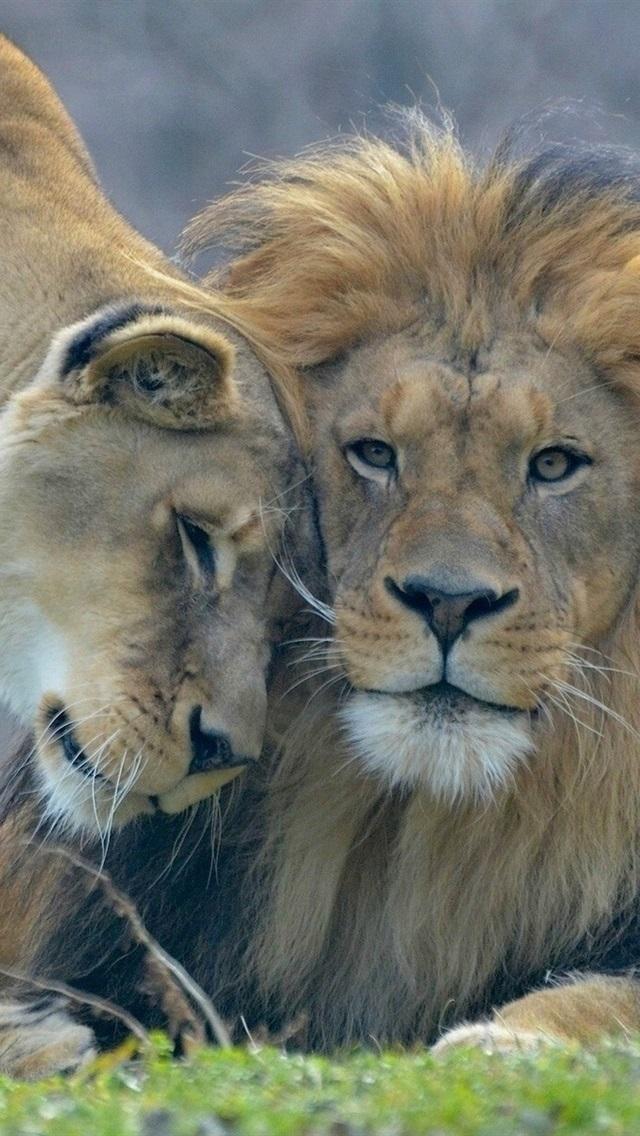 обои льва на айфон 6 020