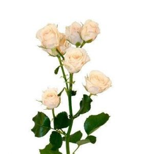 роза крем грация 023