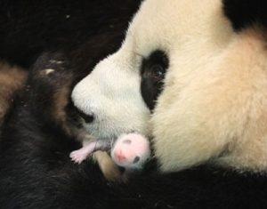 с добрым утром панда 019