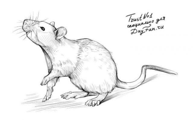 Красивые рисунки крысы для срисовки (14)