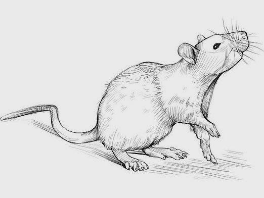 Красивые рисунки крысы для срисовки (17)