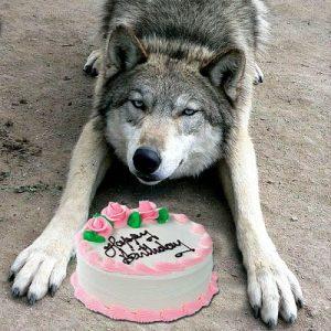 С днем рождения картинки с волком 022