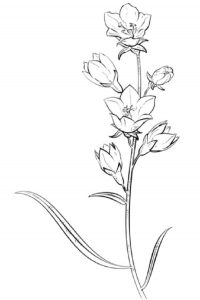 Для детей зарисовки цветущих растений 027