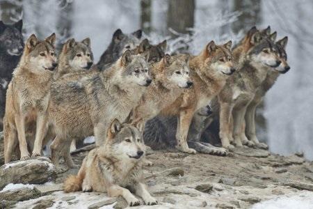 Крутые арты стая волков 010