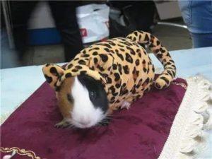 Милые фото одежда для морских свинок 029
