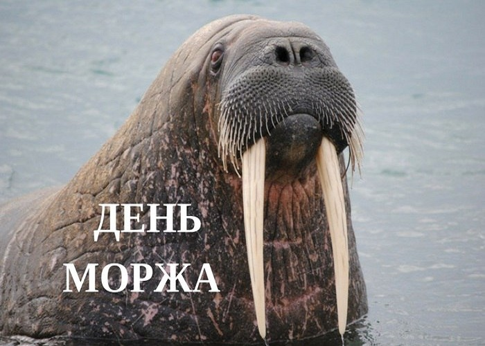 День моржа 13