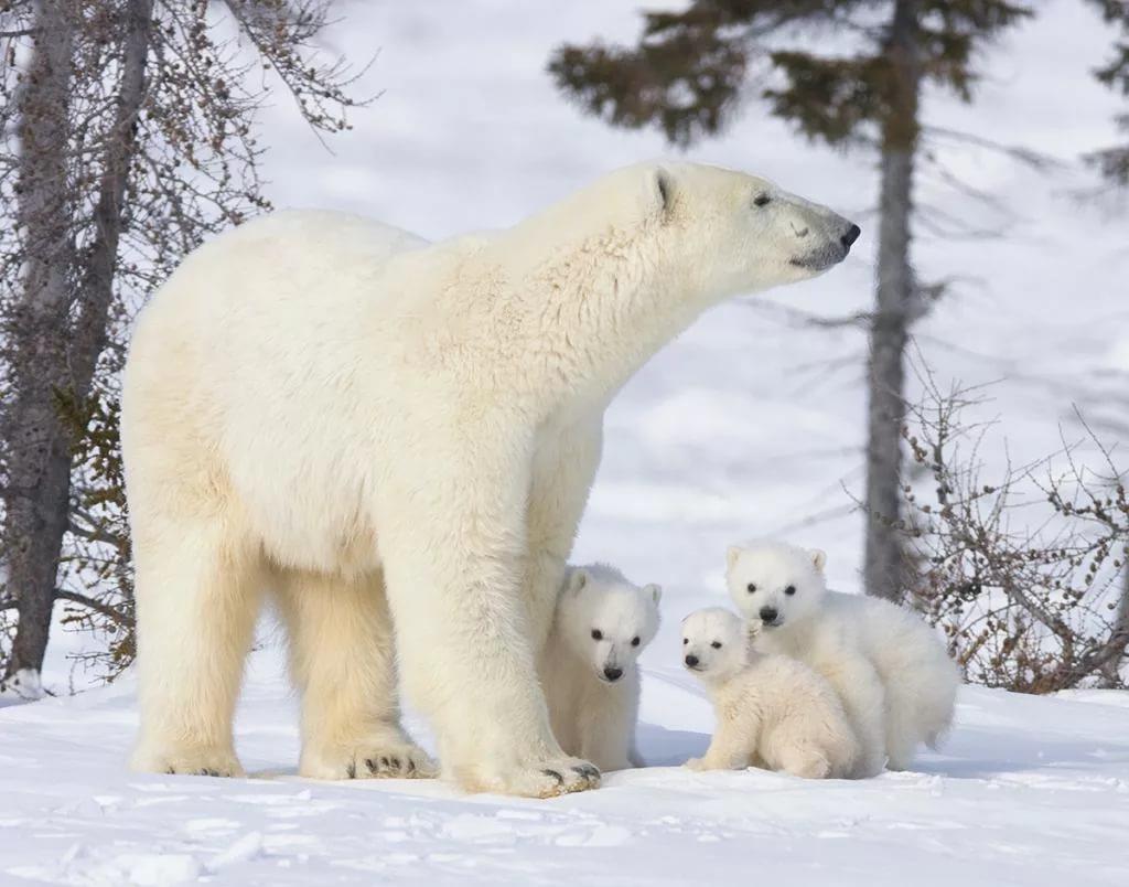 День белого медведя, красивые картинки поздравления 15