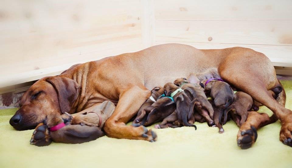 Собака спит со щенками