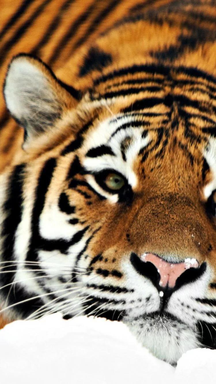 Картинки тигра на телефон скачать лучшие 1