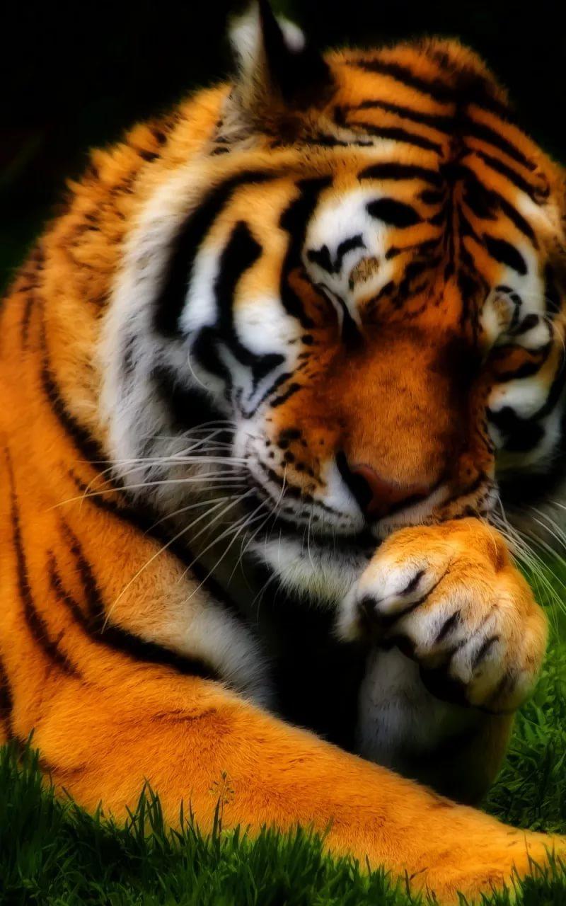 Картинки тигра на телефон скачать лучшие 10