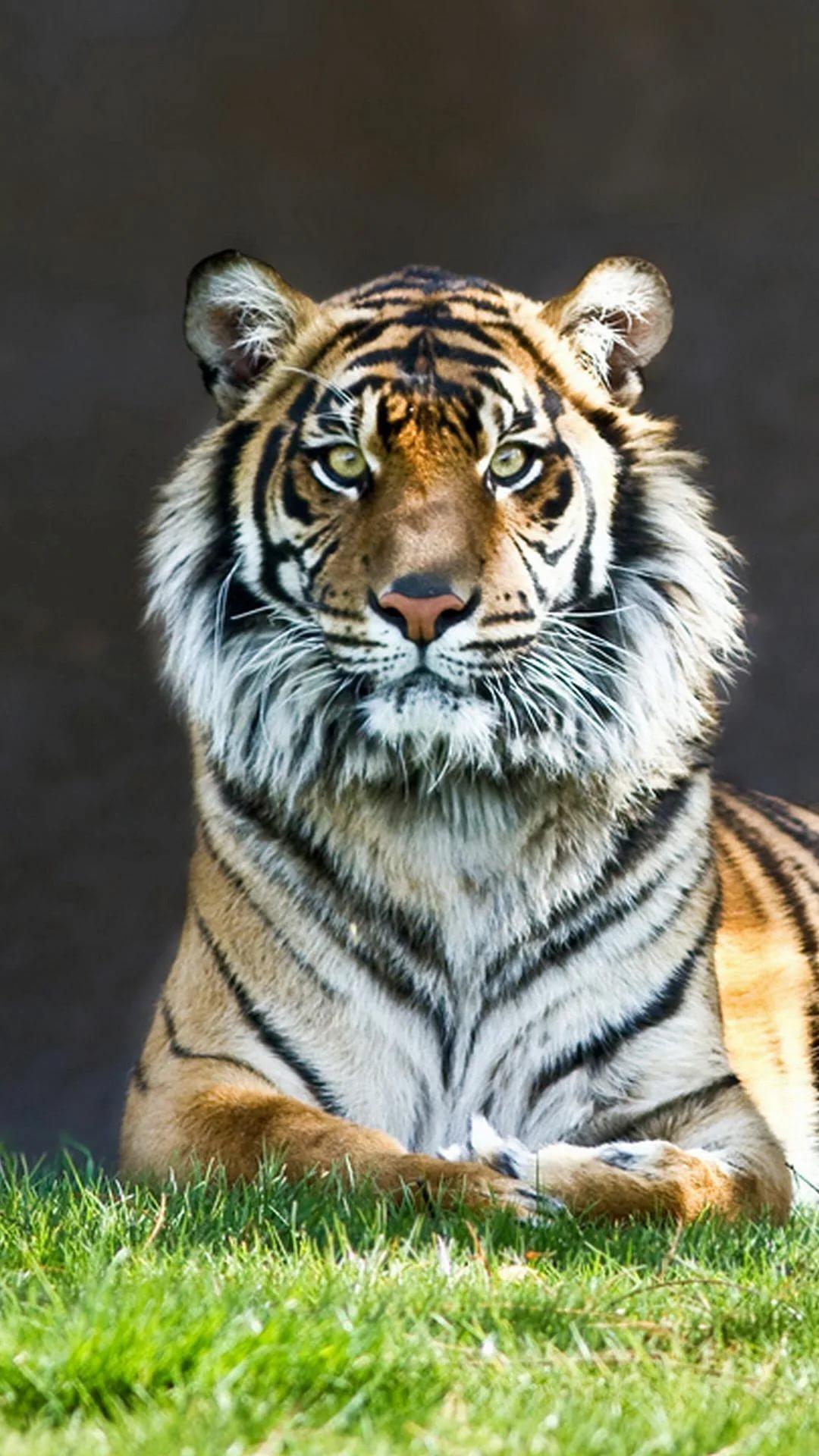 Картинки тигра на телефон скачать лучшие 4