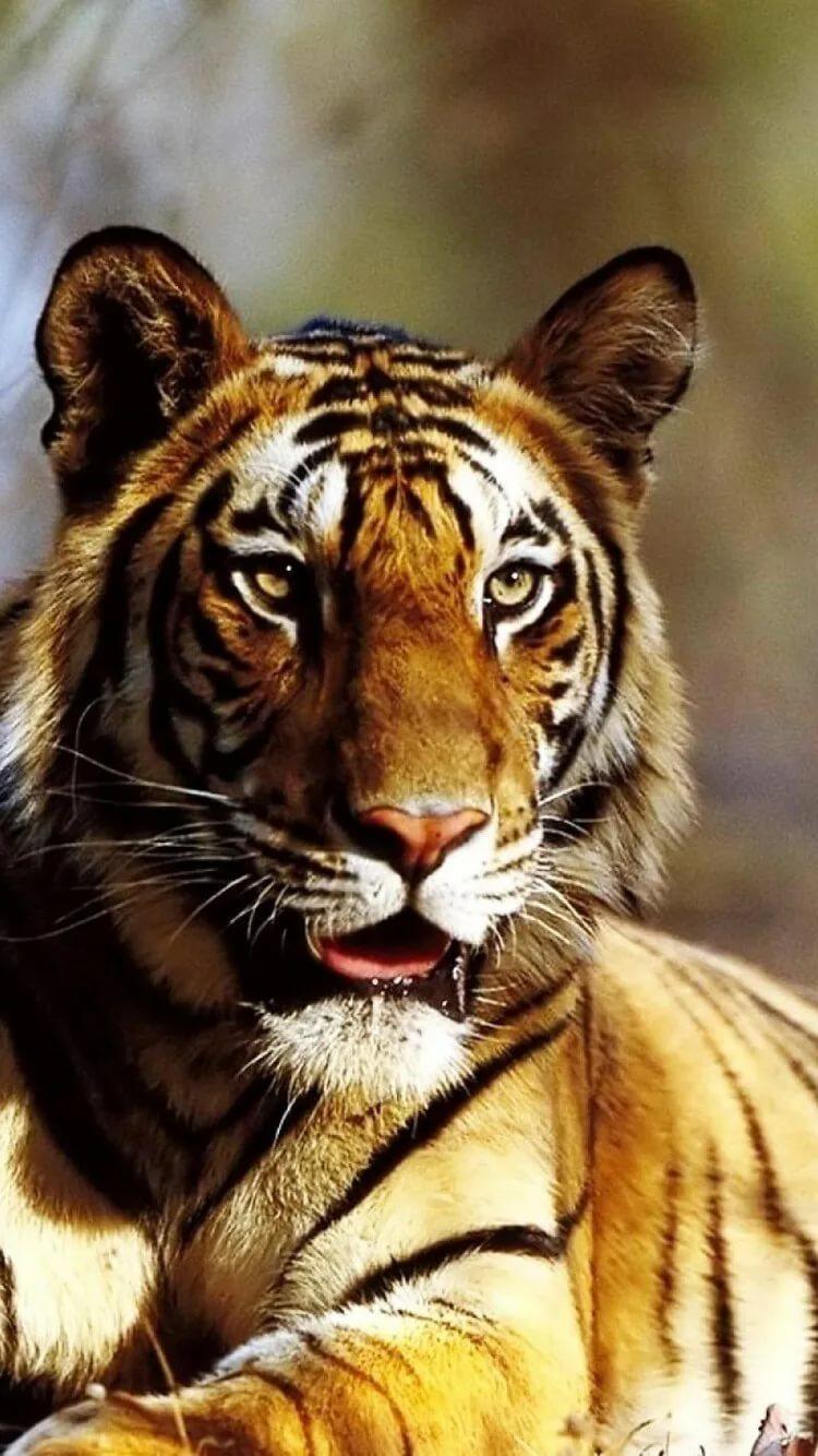 Картинки тигра на телефон скачать лучшие 5