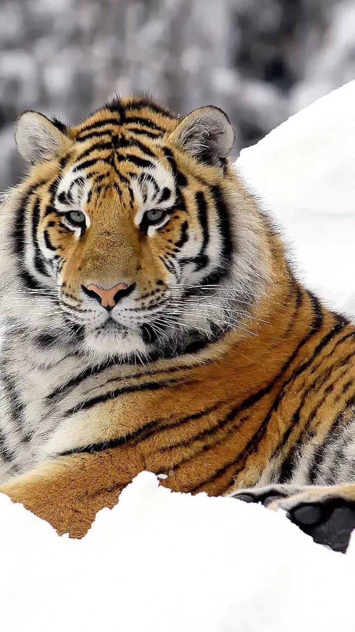 Картинки тигра на телефон скачать лучшие 6