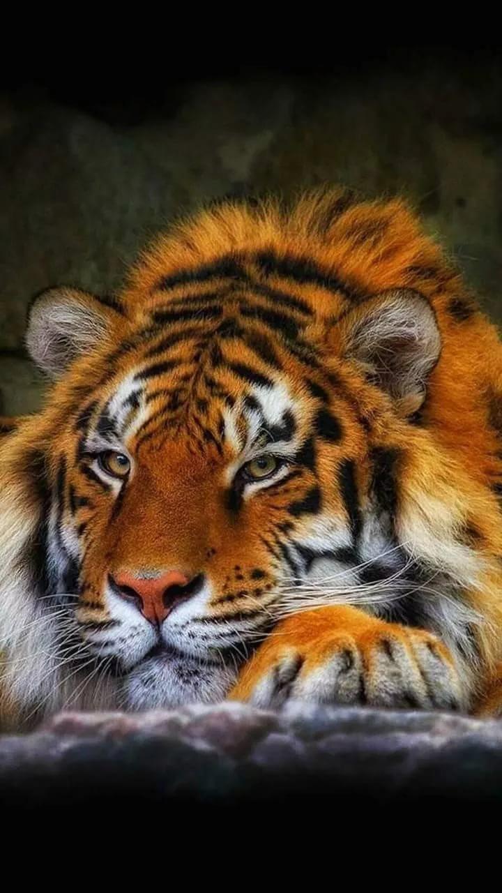 Картинки тигра на телефон скачать лучшие 7