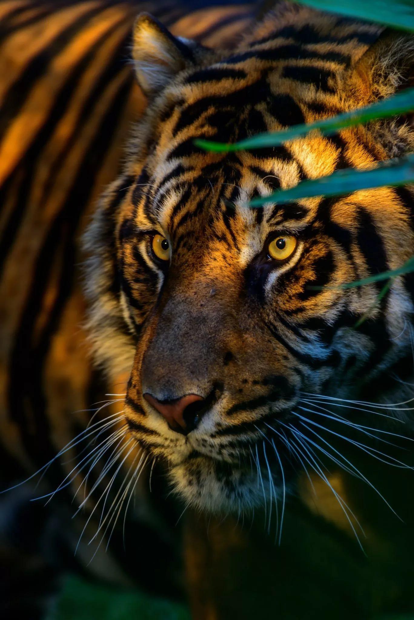 Картинки тигра на телефон скачать лучшие 8