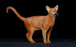 Абиссинская кошка фото и картинки 24