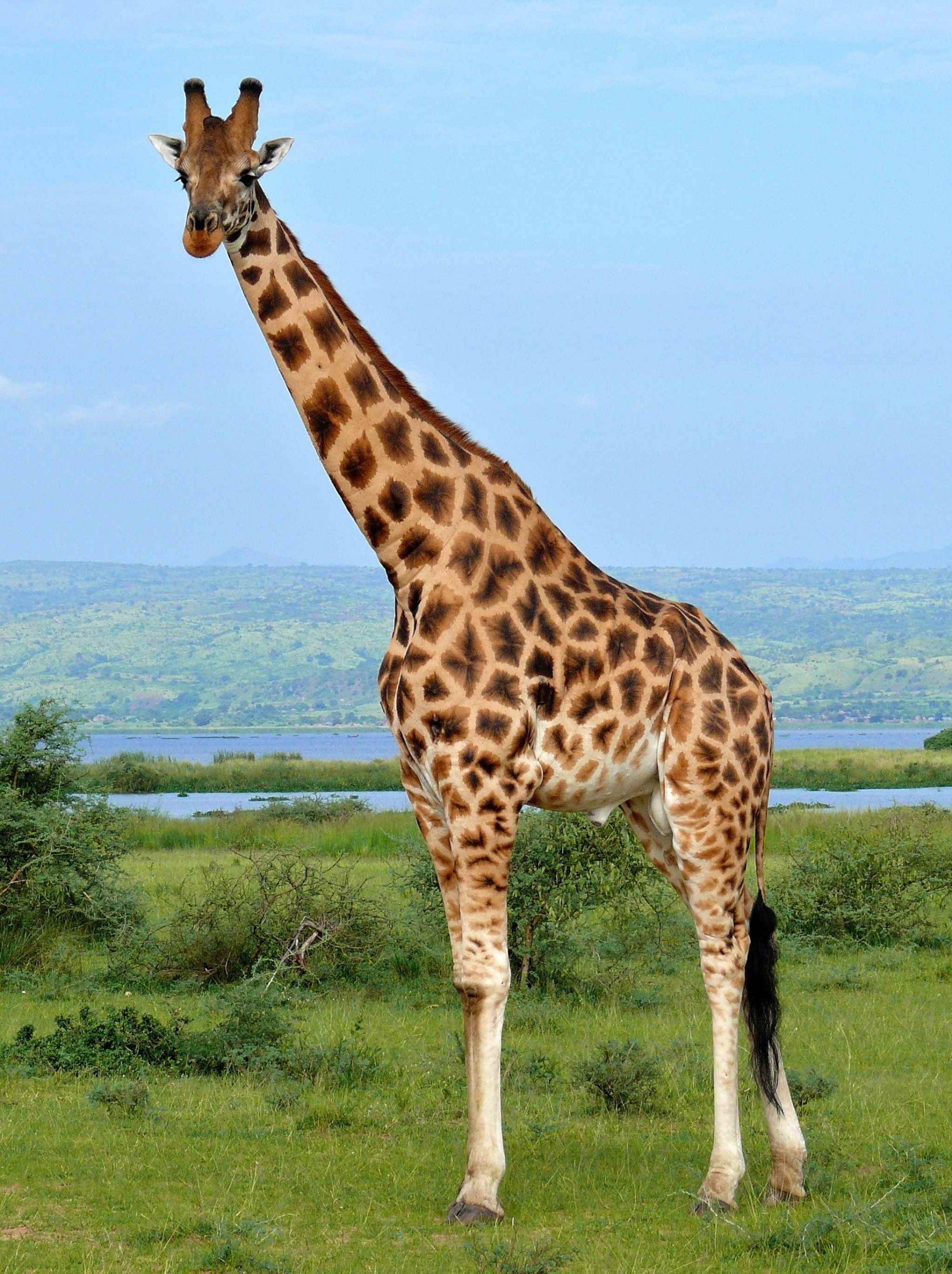 Жираф фото и картинки 01