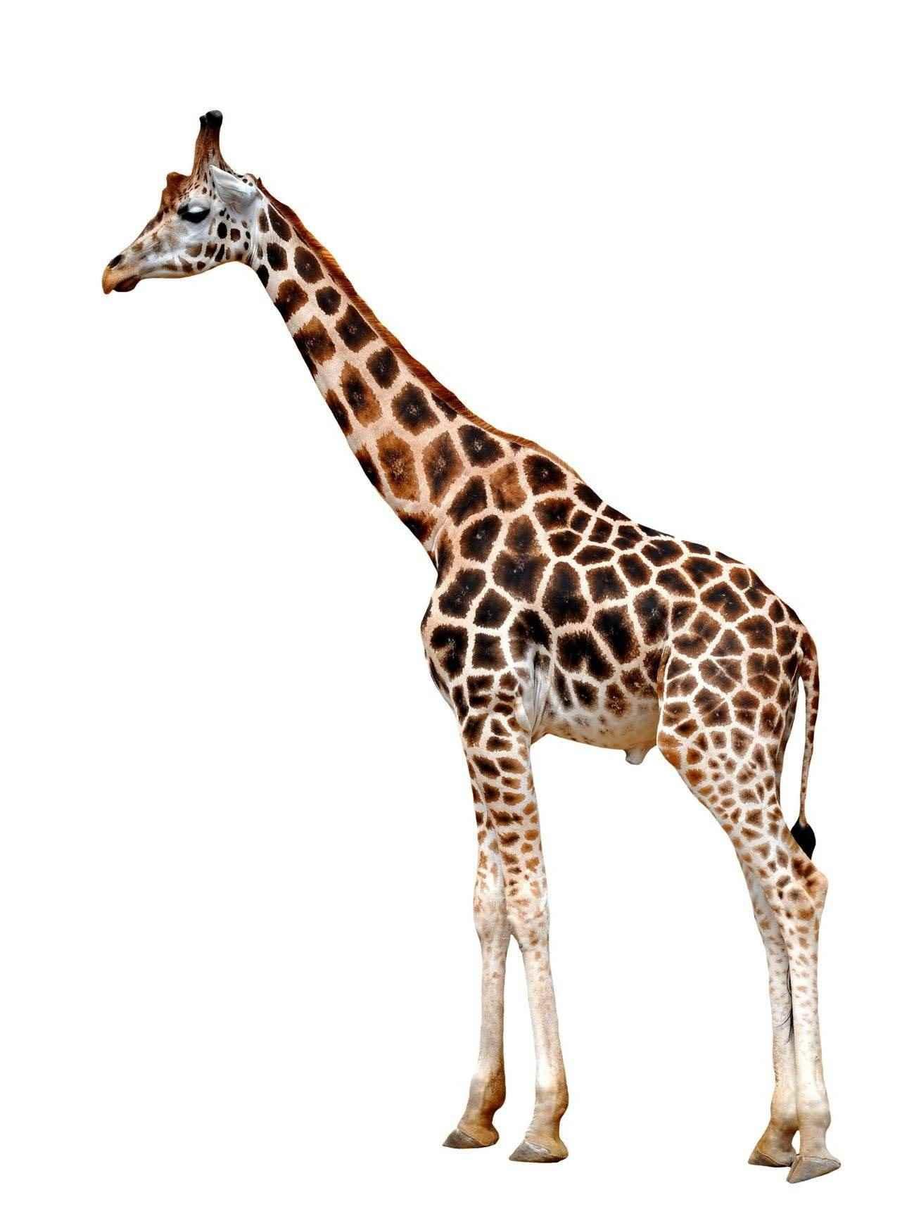 Жираф фото и картинки 03