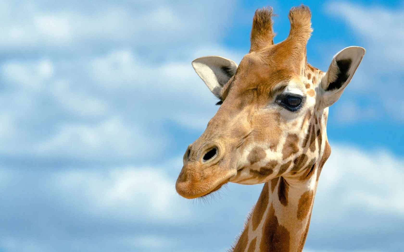 Жираф фото и картинки 05