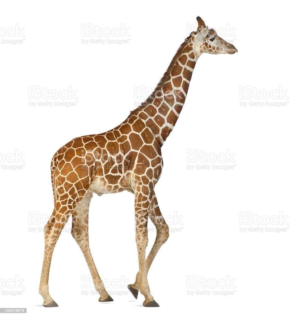 Жираф фото и картинки 06
