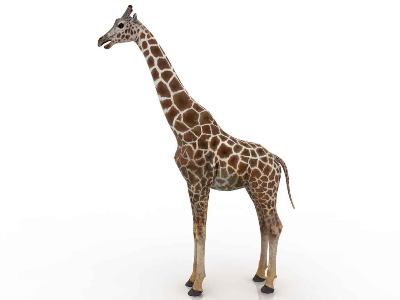 Жираф фото и картинки 07