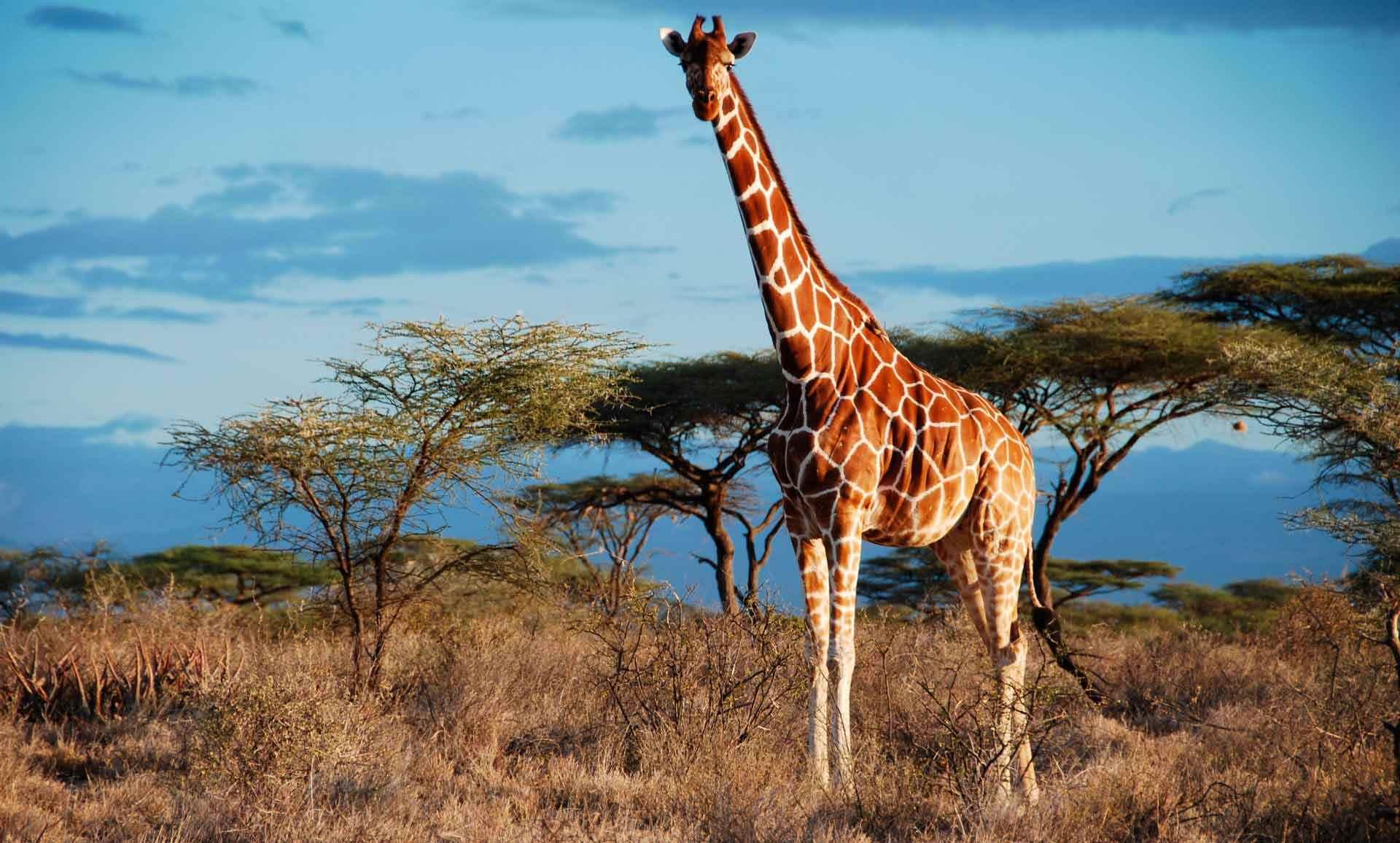 Жираф фото и картинки 10