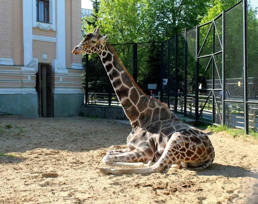 Жираф фото и картинки 11