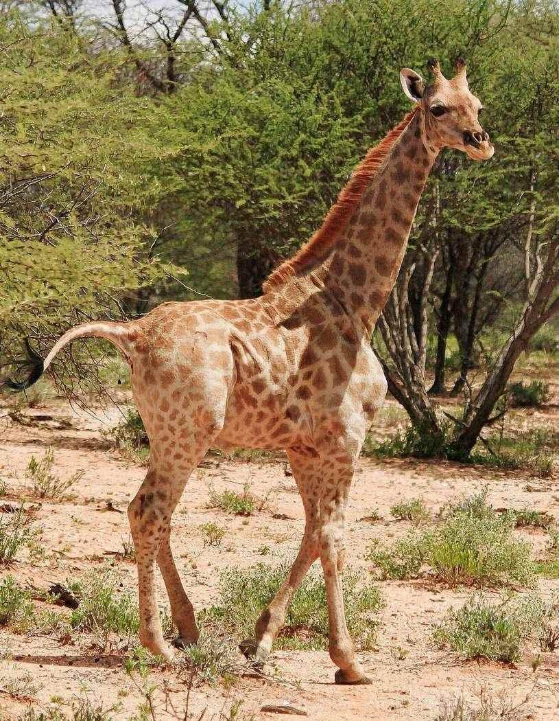 Жираф фото и картинки 12