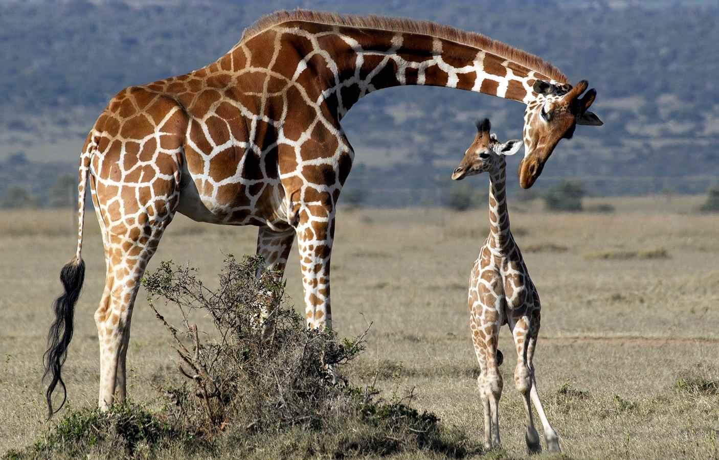 Жираф фото и картинки 13