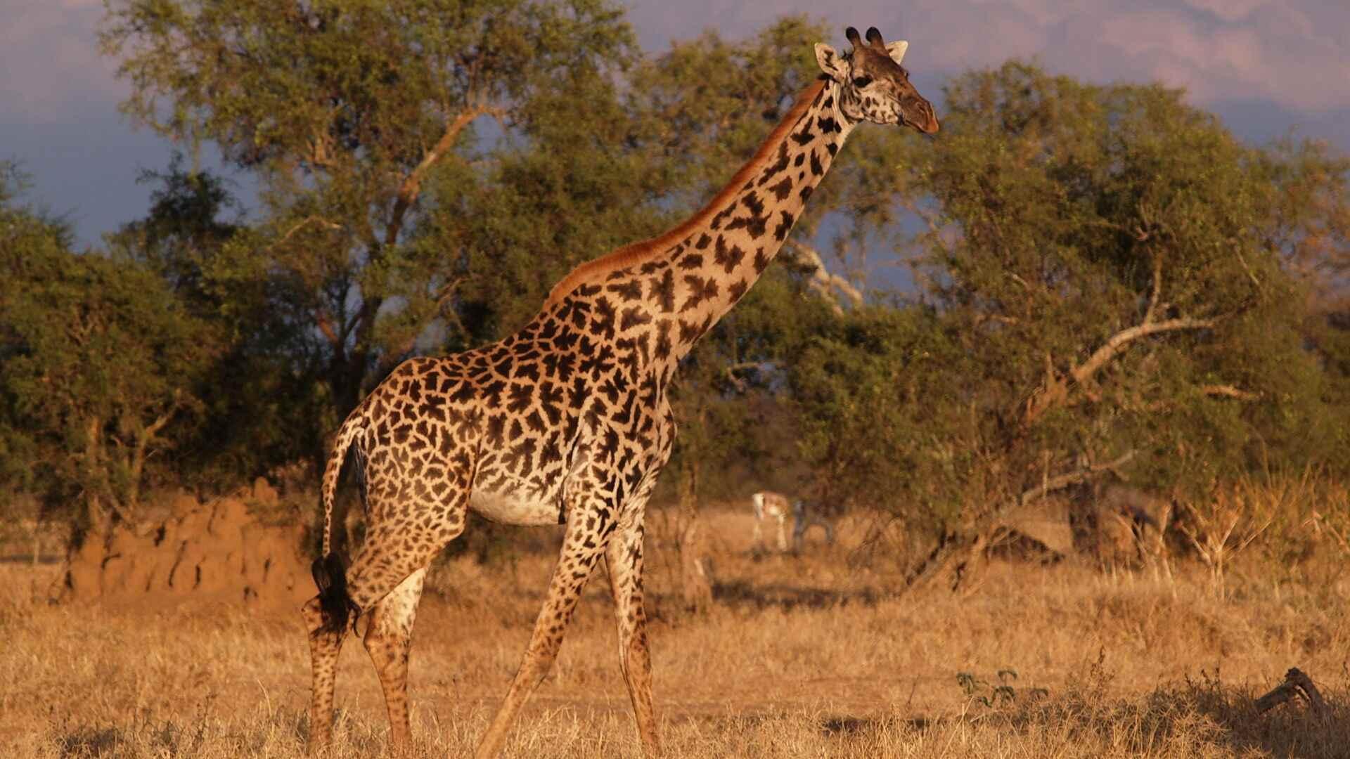 Жираф фото и картинки 16