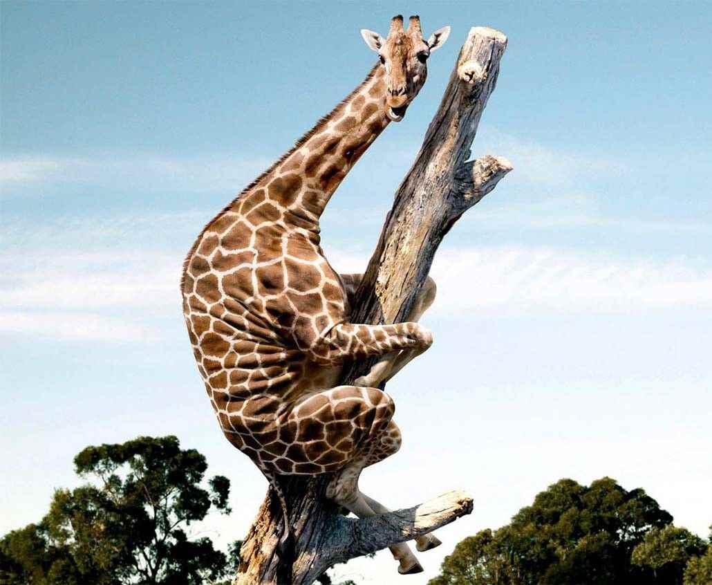 Жираф фото и картинки 17