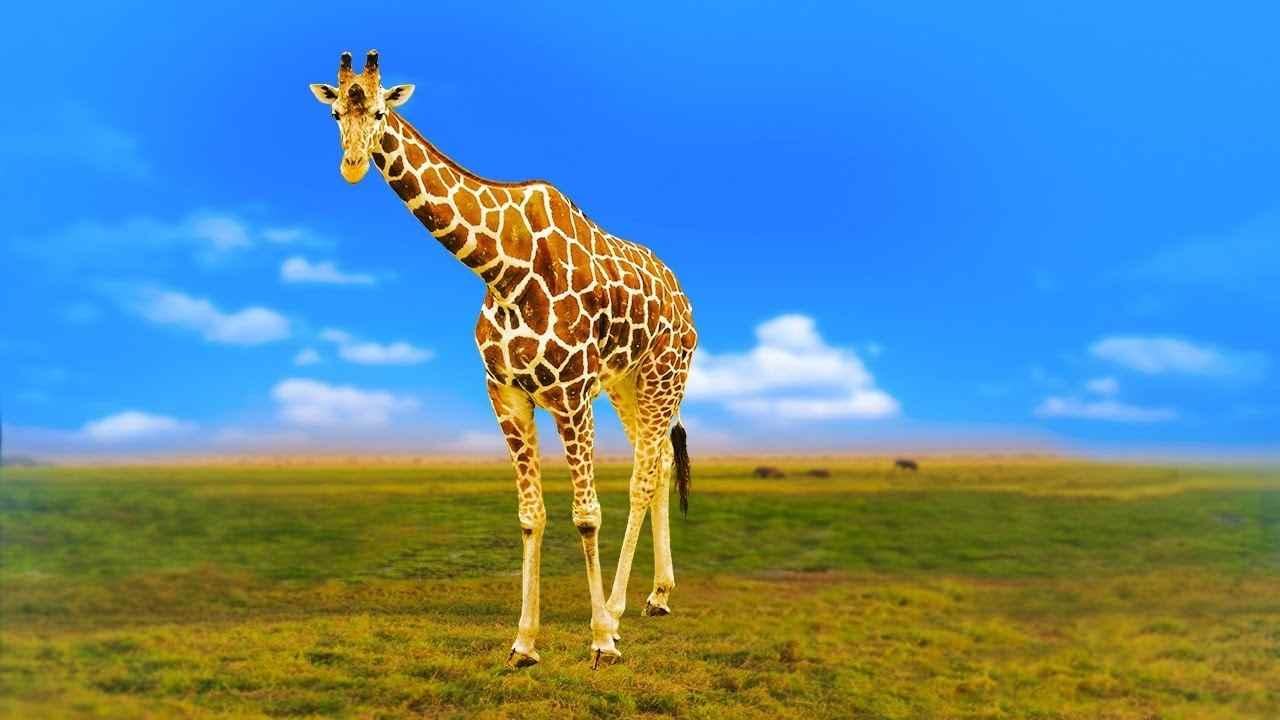 Жираф фото и картинки 18