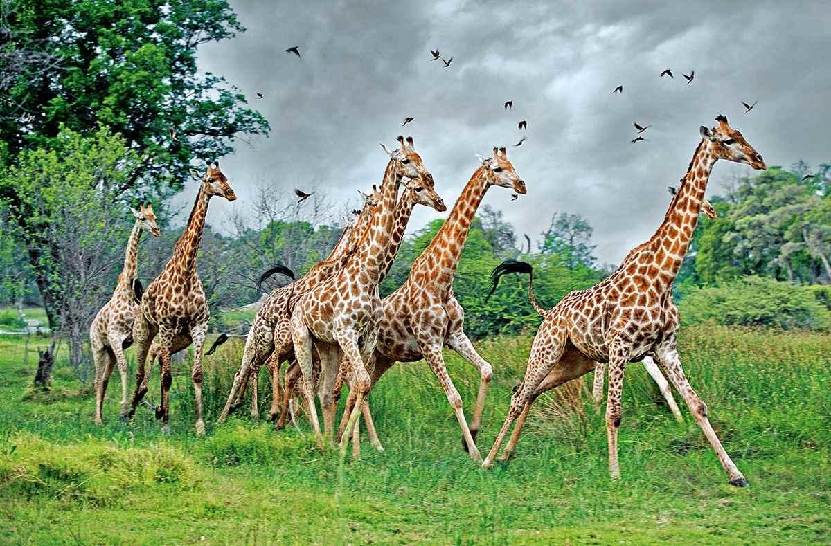 Жираф фото и картинки 19