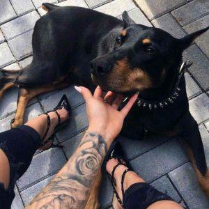 Красивая собака доберман фото и картинки 22