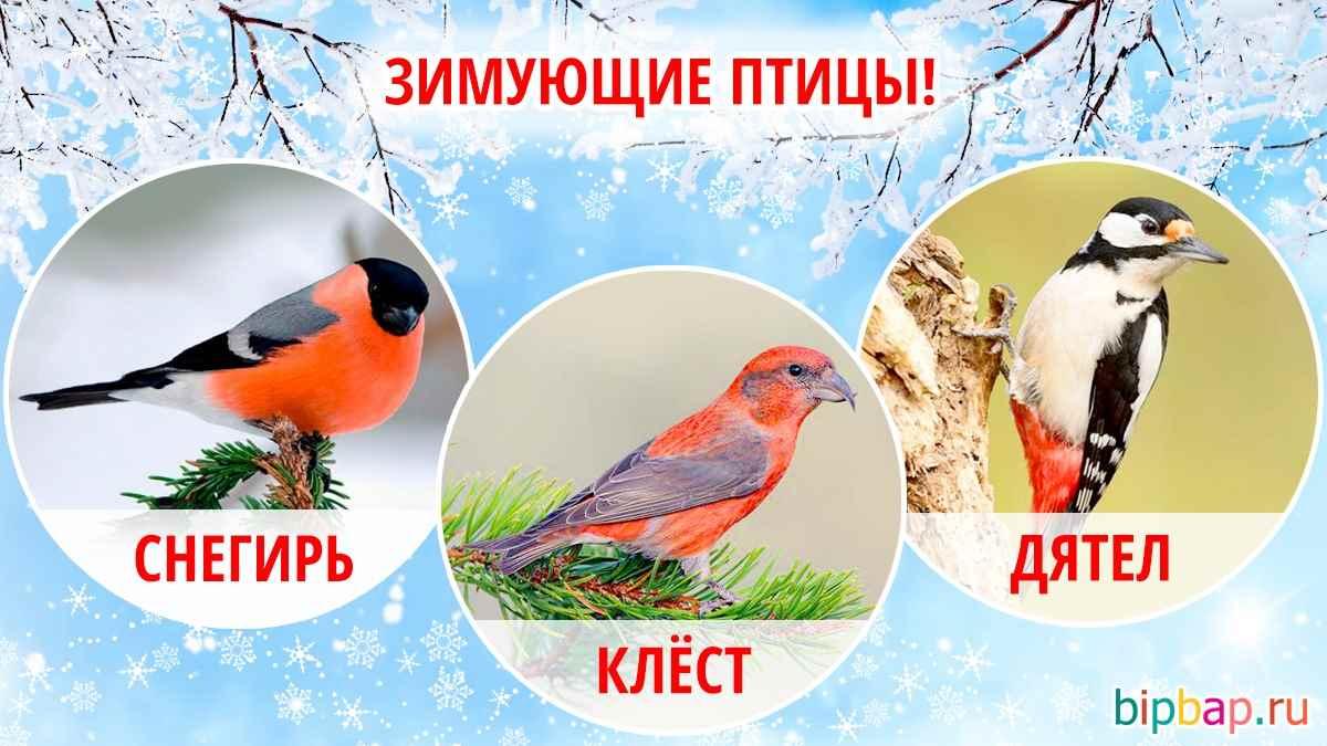 Красивые зимующие птицы картинки для детей 01