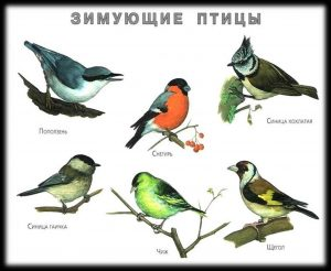 Красивые зимующие птицы картинки и фото 18