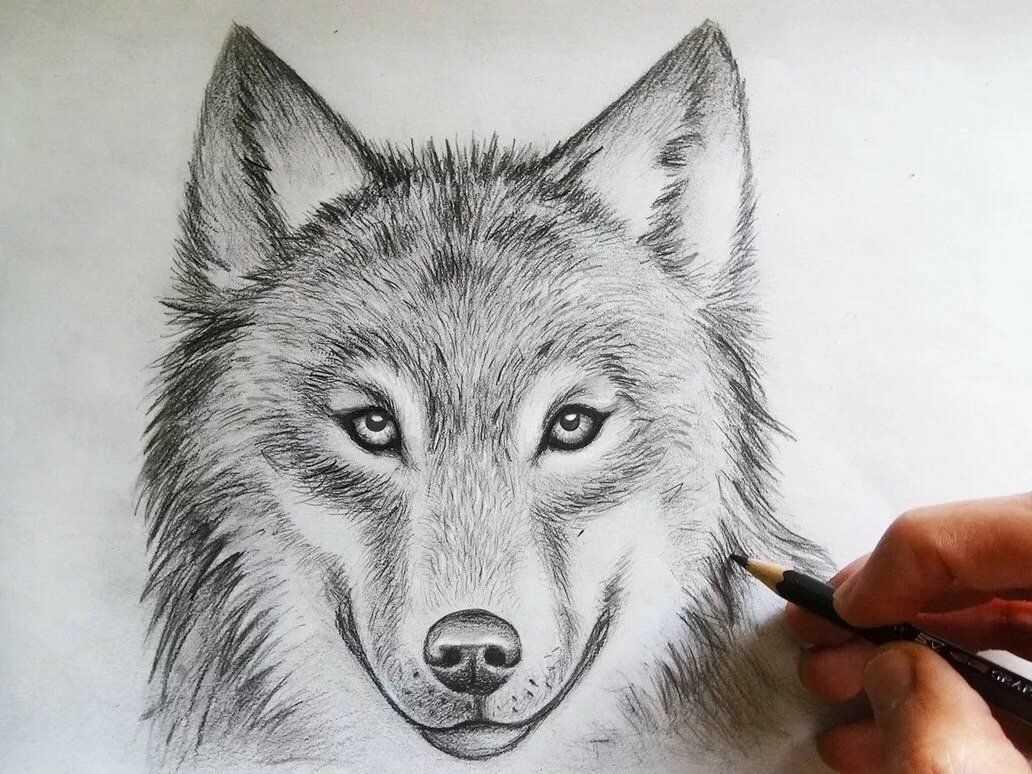 Красивый волк рисунок карандашом для срисовки 01