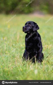 Красивый черный лабрадор фото и картинки 24