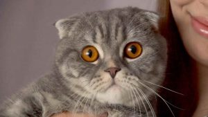 Шотландская вислоухая кошка фото, картинки 24