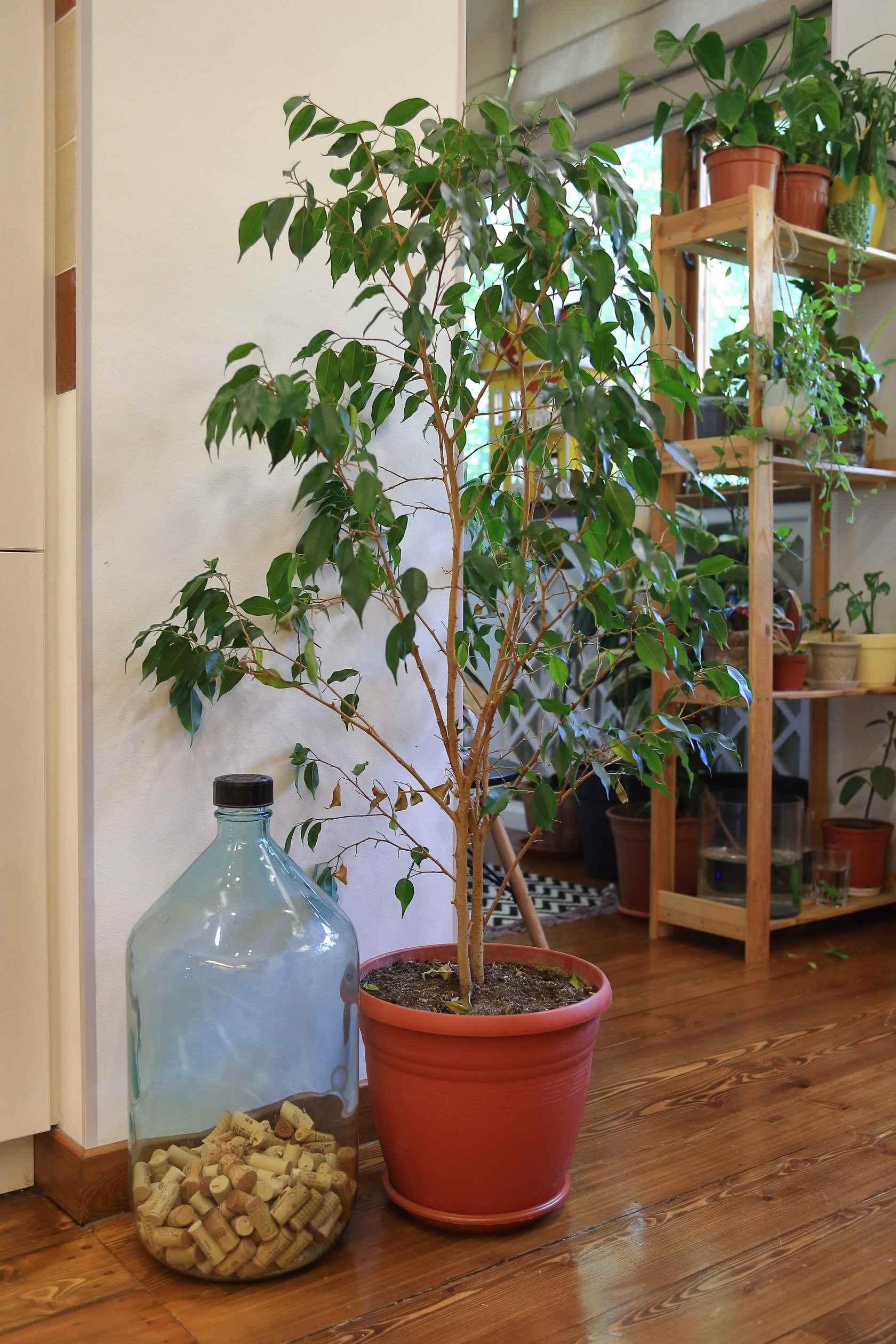 Картинки домашние деревья в горшках, фото 02