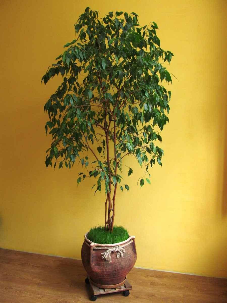Картинки домашние деревья в горшках, фото 10