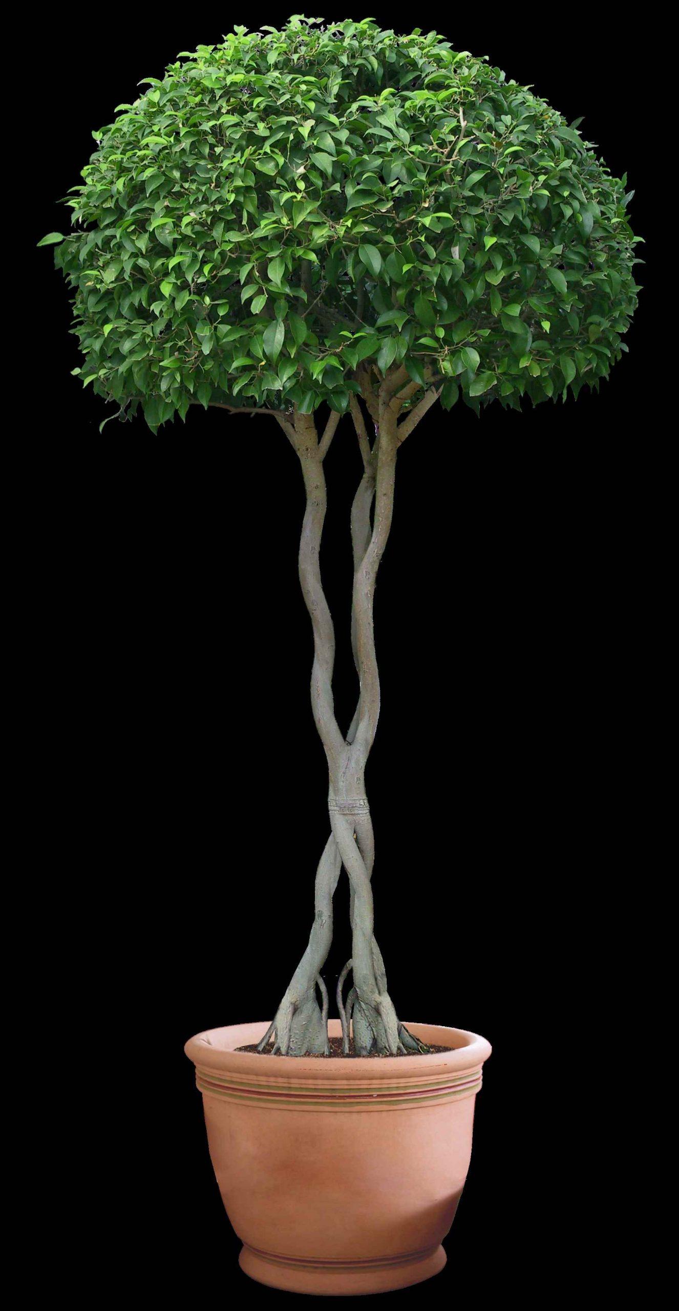 Картинки домашние деревья в горшках, фото 18
