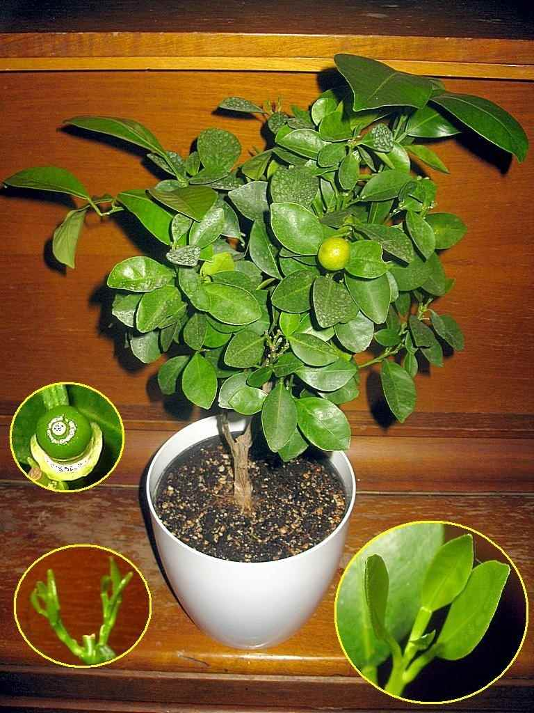 Красивое домашнее мандариновое дерево, фото и картинки 01