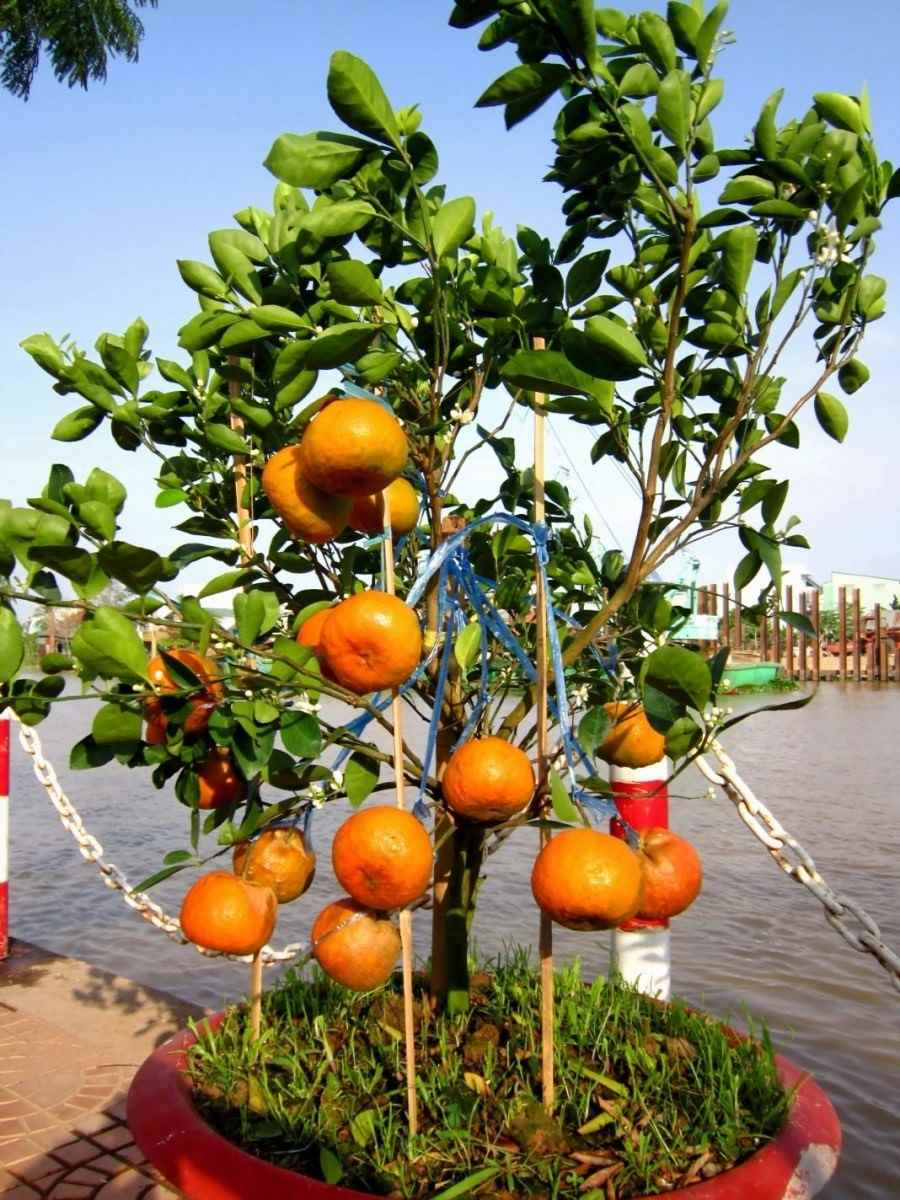 Красивое домашнее мандариновое дерево, фото и картинки 02