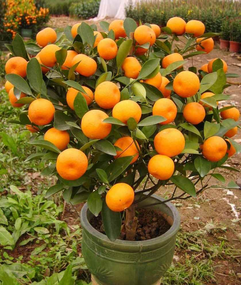 Красивое домашнее мандариновое дерево, фото и картинки 03