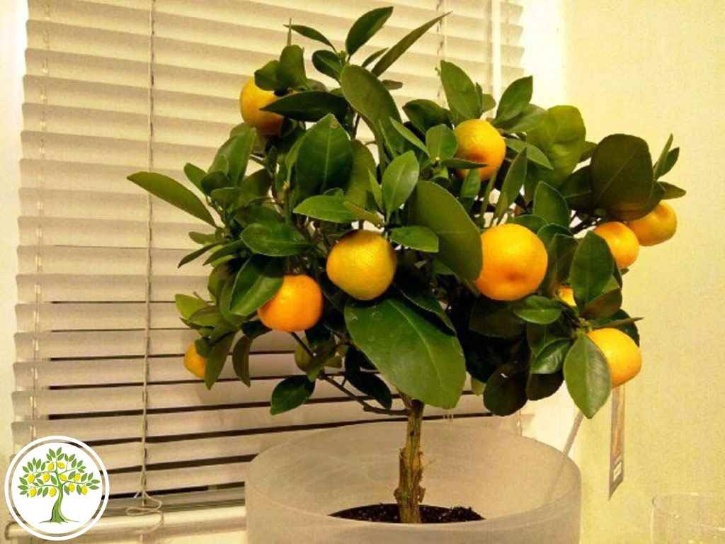 Красивое домашнее мандариновое дерево, фото и картинки 06