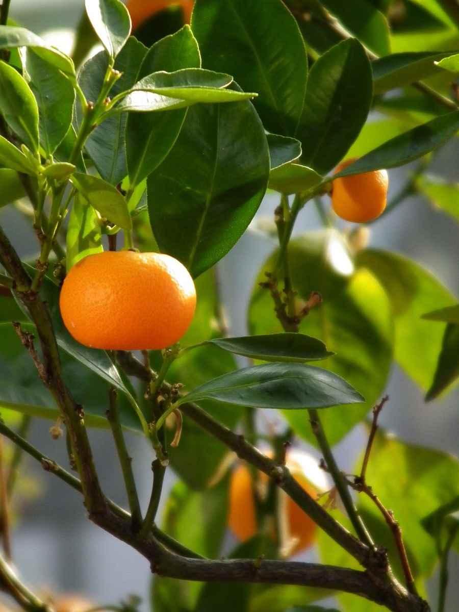 Красивое домашнее мандариновое дерево, фото и картинки 07