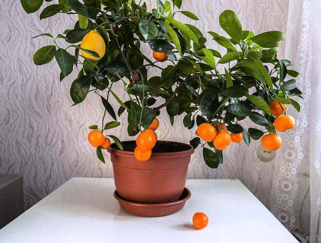 Красивое домашнее мандариновое дерево, фото и картинки 09