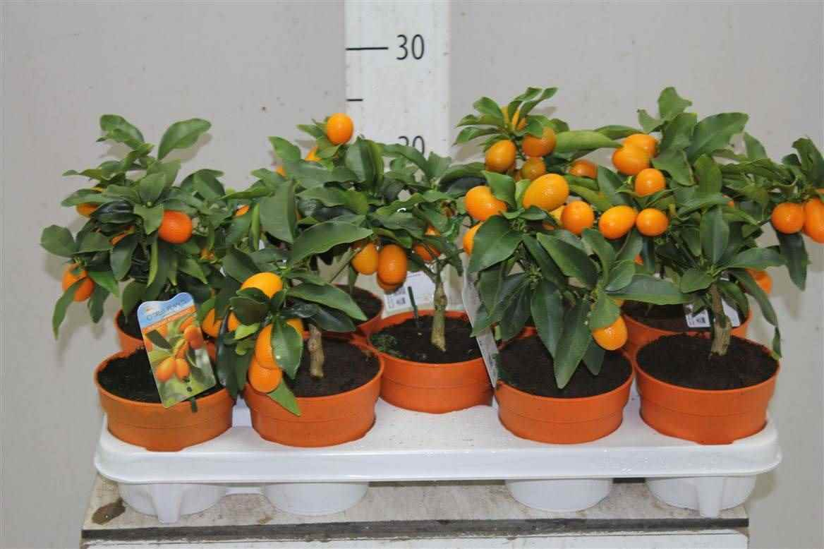 Красивое домашнее мандариновое дерево, фото и картинки 10
